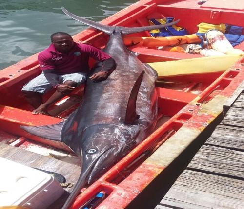 700-pound blue marlin caught around the FADs in St. Lucia